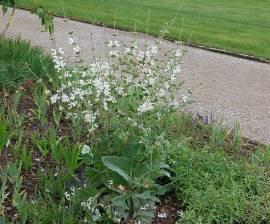 Salvia sclarea 'Vatican White', Muskatellersalbei - Bild vergrößern