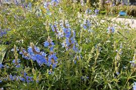 Salvia uliginosa, Pfeffersalbei - Bild vergrößern