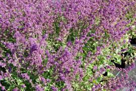 Salvia verticillata 'Purple Rain', quirlblütiger Salbei - Bild vergrößern