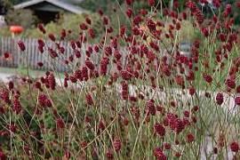 Sanguisorba officinalis, großer Wiesenknopf - Bild vergrößern