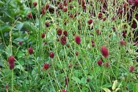 Sanguisorba officinalis 'Red Thunder', Wiesenknopf - Bild vergrößern