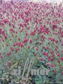 Wiesenknopf, Sanguisorba officinalis 'Tanna' - Bild vergrößern