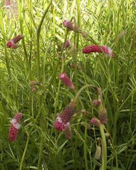 Sanguisorba tenuifolia,Wiesenknopf - Bild vergrößern