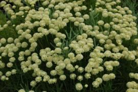 Santolina chamaecyparissus 'Edward Bowles', Heiligenkraut - Bild vergrößern