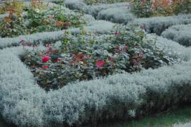 Santolina chamaecyparissus, Heiligenkraut - Bild vergrößern