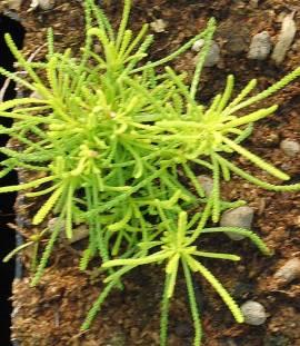 Santolina rosmarinifolia 'Lemon Fizz', Heiligenkraut - Bild vergrößern