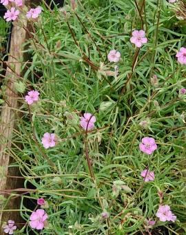 Saponaria cespitosa, Seifenkraut - Bild vergrößern
