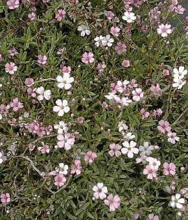 Saponaria ocymoides, Seifenkraut - Bild vergrößern