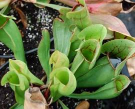 Fleischimanie  Sarracenia purpurea - Bild vergrößern