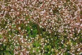 Saxifraga urbium 'Aureopunctata', Schattensteinbrech - Bild vergrößern