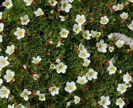 Moossteinbrech, Saxifraga x arendsii 'Schneezwerg' - Bild vergrößern