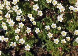 Saxifraga x arendsii 'Schwefelblüte', Moossteinbrech - Bild vergrößern
