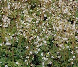 Saxifraga cuneifolia, Keilblatt - Steinbrech - Bild vergrößern