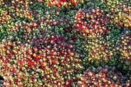 Saxifraga hypnoides, Teppichsteinbrech - Bild vergrößern
