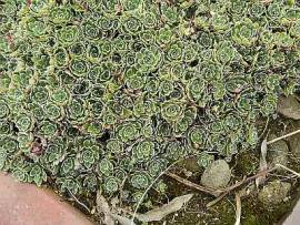 Steinbrech, Saxifraga paniculata - Bild vergrößern