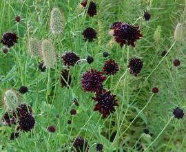 Scabiosa atropurpurea 'Chile Black', Witwenblume, Skabiose - Bild vergrößern