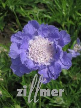 Witwenblume, Garten Skabiose, Scabiosa caucasica 'Clive Greaves' - Bild vergrößern