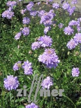 Scabiosa columbaria 'Butterfly Blue', Skabiose - Bild vergrößern