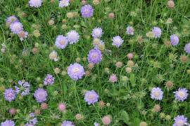 Scabiosa japonica var. alpina, Witwenblume, Skabiose - Bild vergrößern