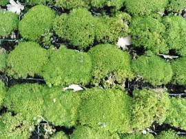 Scleranthus uniflorus, Neuseeländer Knäuel - Bild vergrößern