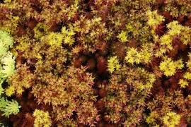 Sedum reflexum 'Chocolate Ball', Felsen-Fetthenne, Tripmadam - Bild vergrößern