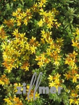 Sedum floriferum 'Weihenstephaner Gold', Garten-Fettblatt, Fetthenne - Bild vergrößern