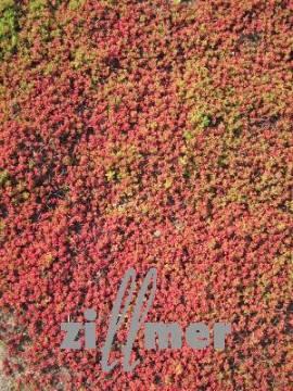 Sedum album 'Coral Carpet', Weiße Fetthenne - Bild vergrößern