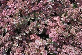 Paket 'Blütentraum', ein buntes Staudenbeet mit Pflanzplan - Bild vergrößern