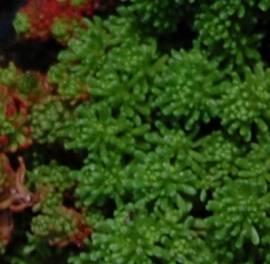 Sedum lydium, türkischer Mauerpfeffer - Bild vergrößern