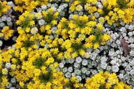 Fetthenne, Sedum spathulifolium 'Cape Blanco' - Bild vergrößern