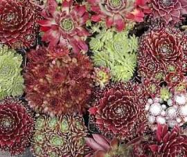 Sempervivum Mischung  10 Pflanzen, 100 Rosetten, Hauswurz, Steinwurz, Dachwurz - Bild vergrößern