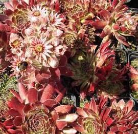 Dachwurz, Hauswurz, Steinwurz, Sempervivum Hybride 'Red Beam' - Bild vergrößern