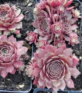 Sempervivum Hybride 'Bernstein', Hauswurz, Steinwurz, Dachwurz - Bild vergrößern