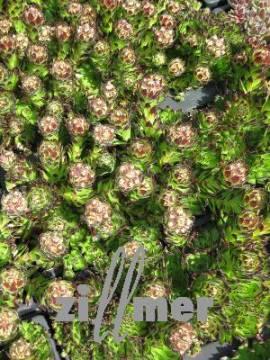 Sempervivum Hybride 'Chivalry', Hauswurz, Steinwurz, Dachwurz - Bild vergrößern