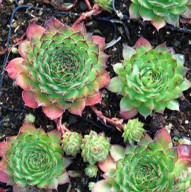 Dachwurz, Hauswurz, Steinwurz, Sempervivum Hybride 'Jack Frost' - Bild vergrößern