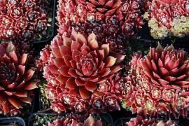 Dachwurz, Hauswurz, Steinwurz, Sempervivum Hybride 'Palisander' - Bild vergrößern
