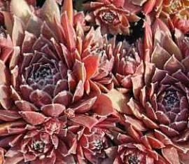 Dachwurz, Hauswurz, Steinwurz, Sempervivum Hybride 'Pilatus' - Bild vergrößern