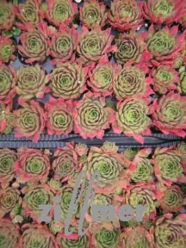 Sempervivum Hybride 'Rotkopf', Hauswurz, Steinwurz, Dachwurz - Bild vergrößern