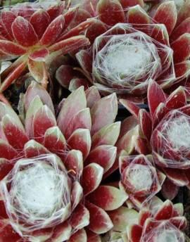 Sempervivum Hybride 'Weisse Feder', Hauswurz, Steinwurz, Dachwurz - Bild vergrößern