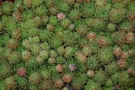 Dachwurz, Hauswurz, Steinwurz, Sempervivum atlanticum - Bild vergrößern