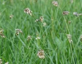 Sesleria caerulea  Blaugras - Bild vergrößern