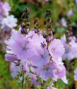 Sidalcea Hybride 'Elsie Heugh', Präriemalve - Bild vergrößern