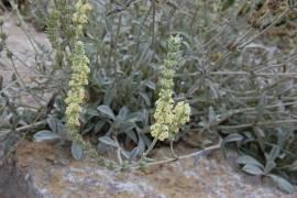 Sideritis syriaca, griechischer Bergtee - Bild vergrößern