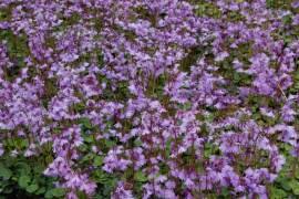 Soldanella alpina, Fransenglöckchen - Bild vergrößern