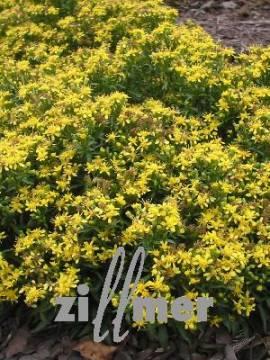 Solidago virgaurea ssp. minuta var. minutissima, Zwergige Goldrute - Bild vergrößern