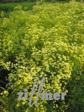 Goldruten Aster, Solidaster hybridus - Bild vergrößern