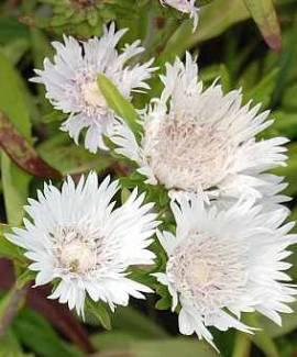 Stokesia laevis 'Träumerei' Kornblumen Aster - Bild vergrößern