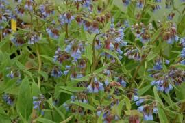 Symphytum caucasicum Beinwell - Bild vergrößern