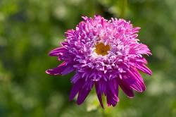 Tanacetum coccineum 'Alfred', Gartenmargerite - Produktbild