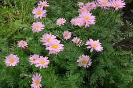 Tanacetum coccineum 'Robinsons Rosa', Margerite - Bild vergrößern